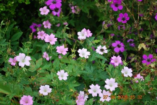 Κηπος στο Wolphersdijk -και μελισσάκι σε λουλουδάκι
