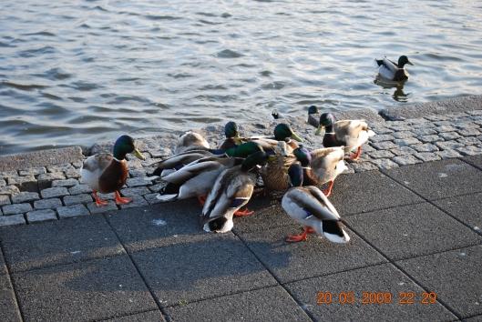 Ομαδικος...βιασμος αθώας παπιας στη λιμνη Tjiörn στο Ρευκιαβικ