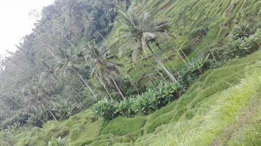 Ορυζώνες, Ubud