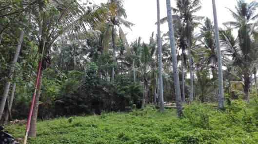 καλλιέργεια καφέ και τσαγιού στο Ubud